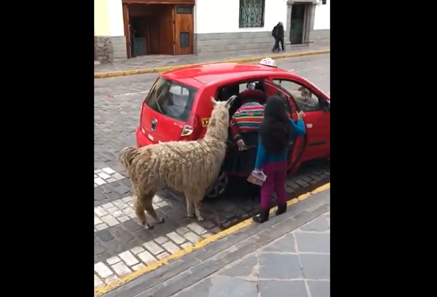 Llama creates a fun moment when trying to get into a taxi