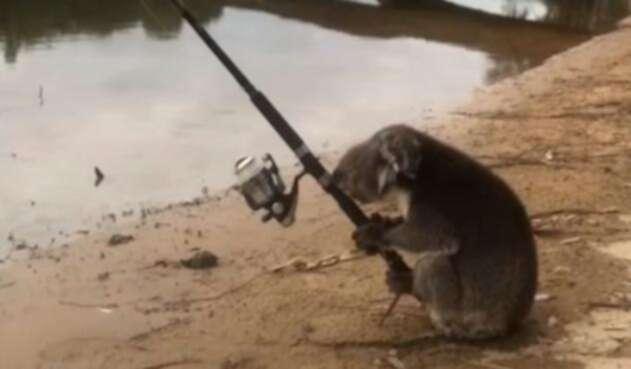 La imagen del koala 'pescador' / Tomada del video difundido