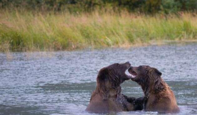 Osos Alaska