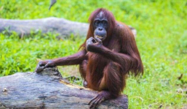 Youtuber pone a fumar a un simio y causa indignación