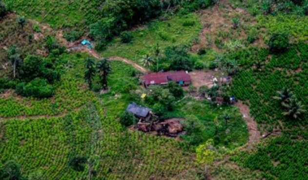 Los cultivos de coca en Tumaco en 2017
