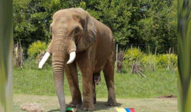 Elefante Pirinolo predice victoria de Senegal ante Colombia