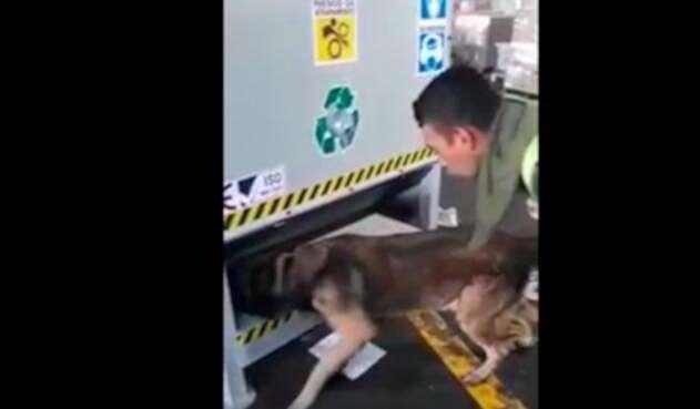 El perro antinarcóticos haciendo la inspección dentro del barco, en Cartagena
