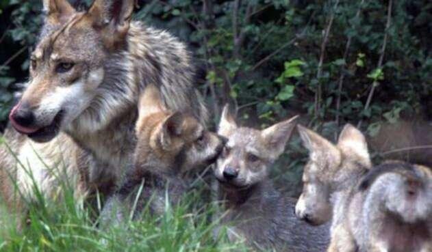 El lobo gris mexicano (Canis lupus baileyi).