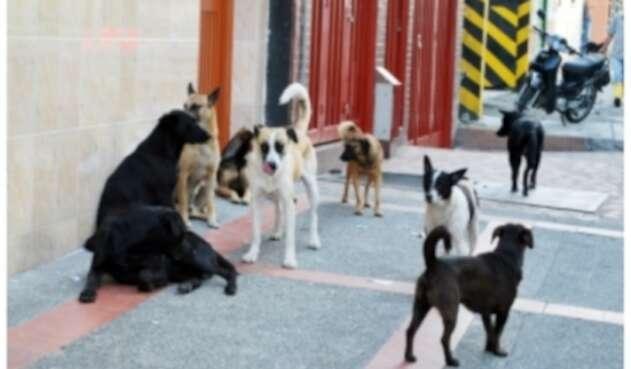 Perros callejeros en Pereira.