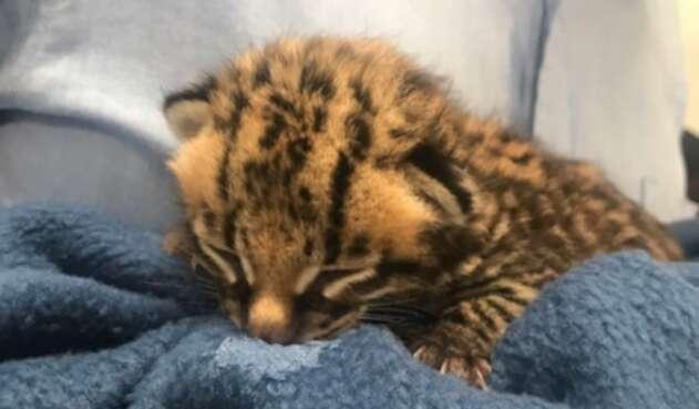 Logran recuperar leopardo cachorro en el municipio de Facatativá
