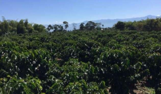La crisis del café ha tocado fondo según caficultores