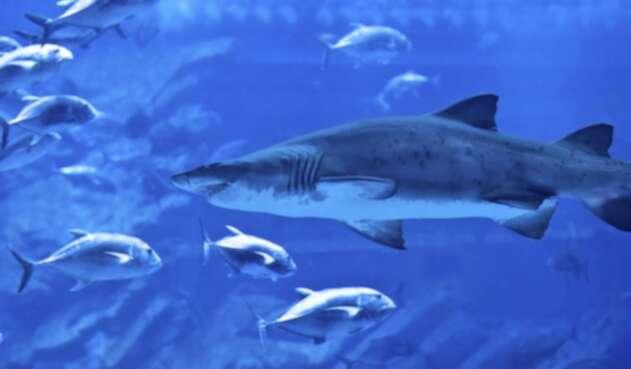 Un tiburón en su hábitat natural