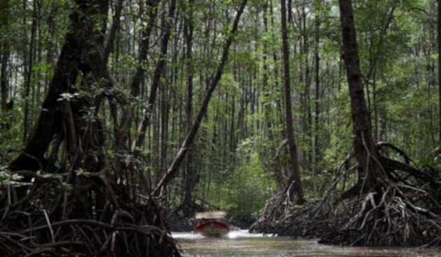 Esta es la imagen de los bosques de manglares en Tumaco (Nariño).