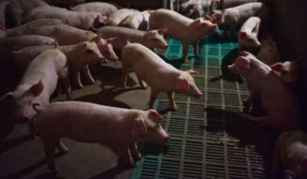 Cerdos en China.