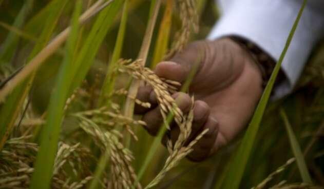 Cultivos de arroz en Colombia