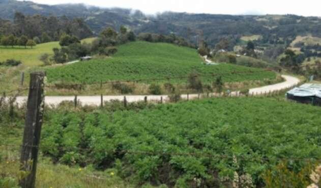 Se identificó cinco hectáreas donde se cultivaba papa en la zona de reserva de los Cerros Orientales de Bogotá