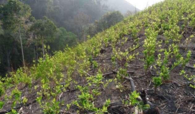 Cultivos de hoja de coca