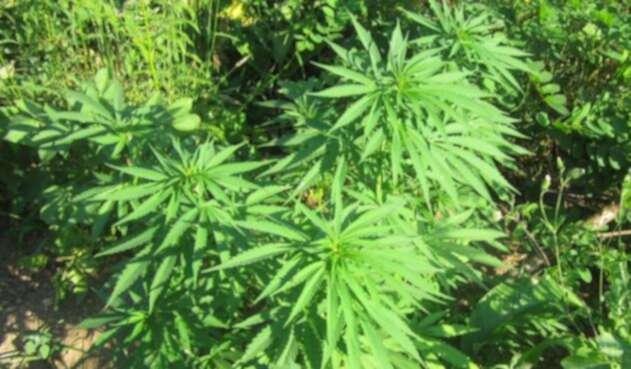Cannabis podría rejuvenecer el cerebro.