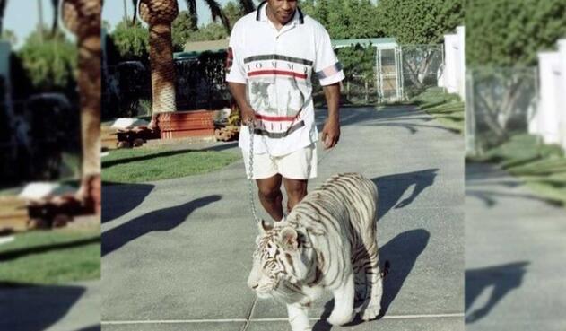El exboxeador se ha destacado por tener varios tigres blancos de mascota. Según afirmó Tyson durante una entrevista, en solo una ocasión uno de sus tigres lo lastimo y fue sin culpa.