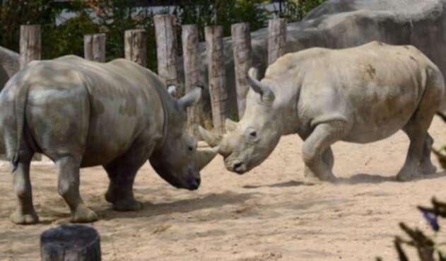 Rinocerontes blancos.