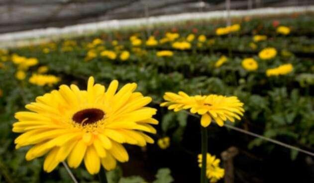 Los principales mercados de las flores colombianas son Estados Unidos, seguido de Reino Unido, Japón, Canadá y Rusia.