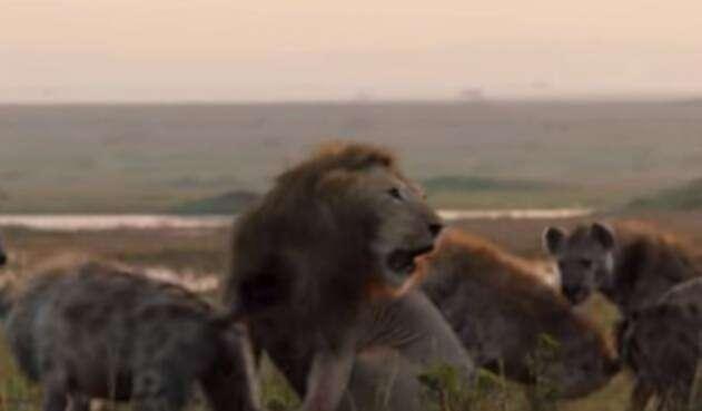 Así le agradeció un león a otro por salvarlo de la muerte