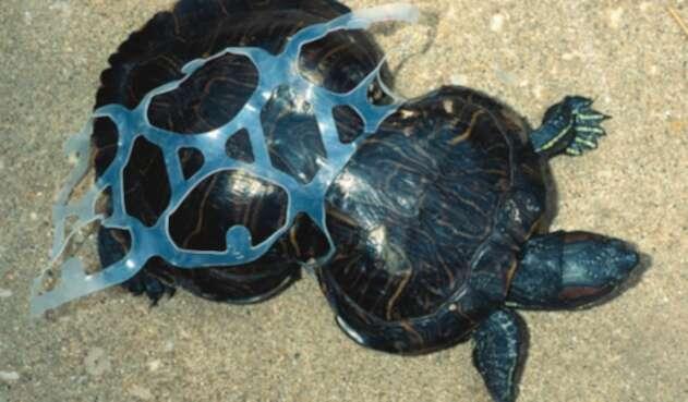 Tortuga atrapada en un envase de plástico.