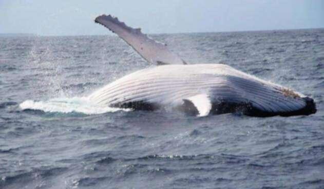 Japón continua con la caza de ballenas.