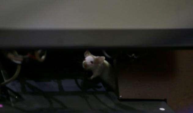 Alguien ingresó ratones al Congreso de la República para lanzarlos a la bancada del Centro Democrático.