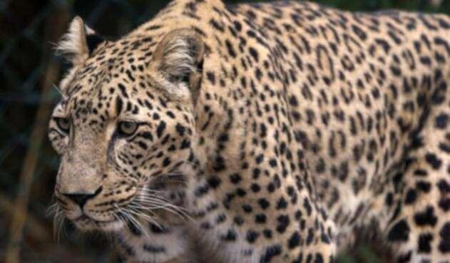 Científicos aseguran que el Tigre de Amoy es una especie que ya se encuentra extinta.