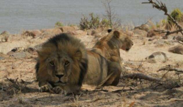 Leones atacaron a joven en zoológico