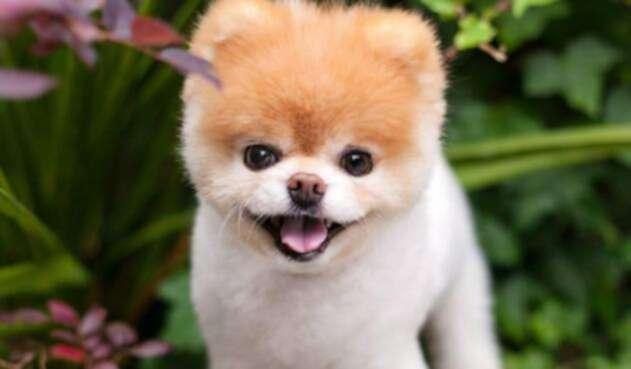 Murió Boo, el perro más lindo del mundo