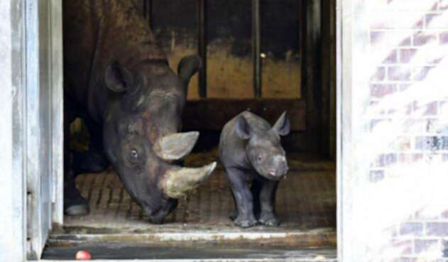 Bebe cayó a jaula de Rinocerontes