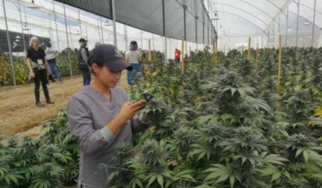 Cannabis producida en Boyacá es exportada a Canadá con fines científicos.