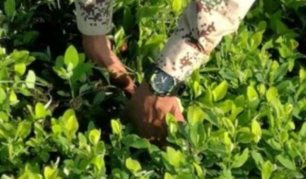 La erradicación manual se sigue adelantando en Nariño