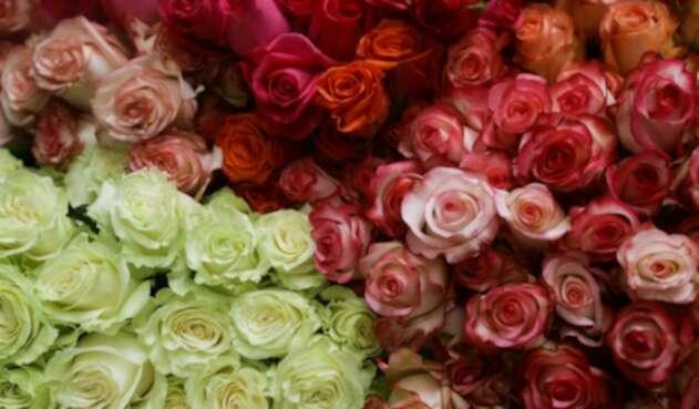 Flores colombianas en una de las fincas de Asocolflores, en Chía (Cundinamarca)