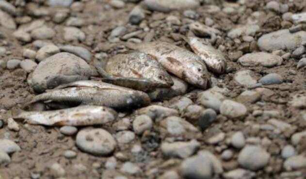 Peces muertos tras las maniobras de Hidroituango en el Río Cauca