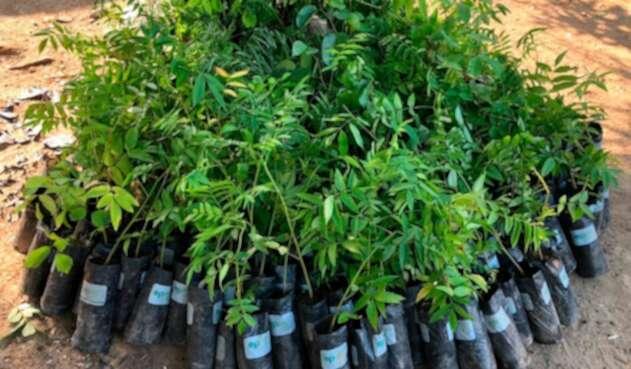 Los árboles que serán sembrados en Medellín