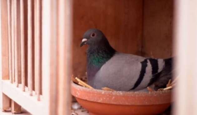Armando es el nombre de la paloma más cara del mundo