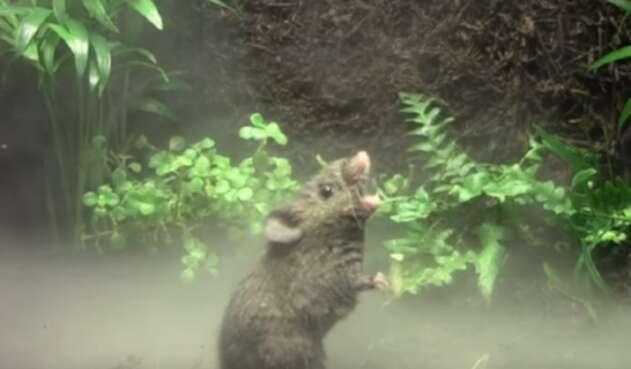 Ratón cantante de Alston