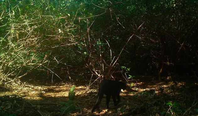 Puma yaguarundí en el Parque Tayrona