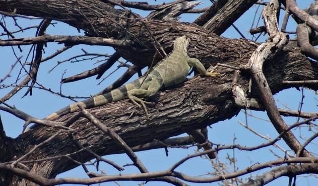 Iguana observada en el Parque Tayrona