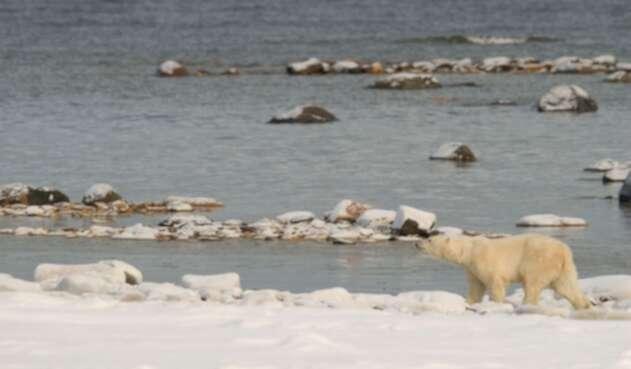 Un oso polar en su habitad alterado por el cambio climático