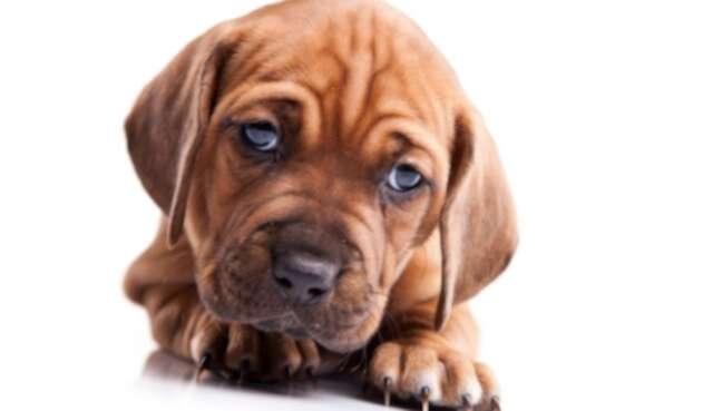 Perrito, perro