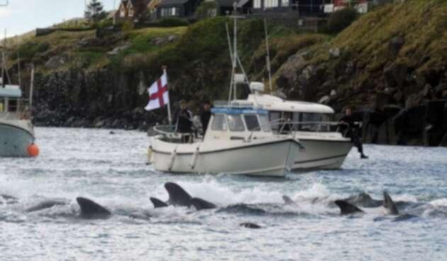 Más de 200 ballenas fueron masacradas en las Islas Feroe en Dinamarca.