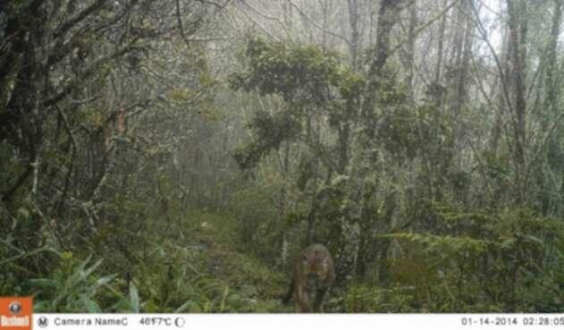 Avistamiento de Puma en el Valle de Cocora.