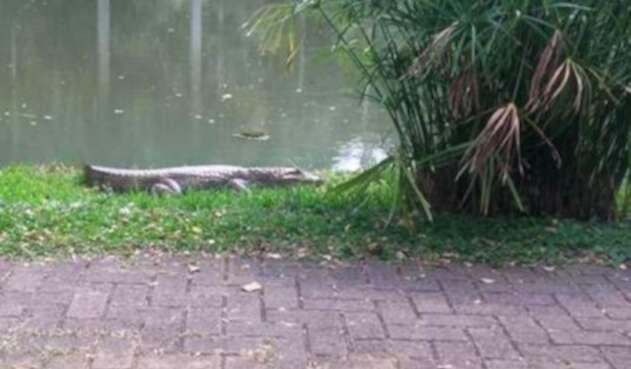 Autoridades ambientales de Cali buscan atrapar a una babilla que se encuentra en un lago artificial al sur de la ciudad