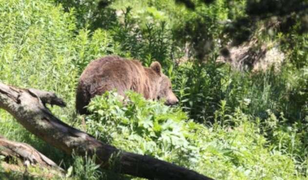 El oso es un animal salvaje.
