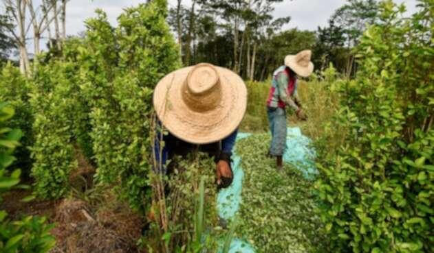 Erradicación manual de cultivos ilegales de coca.