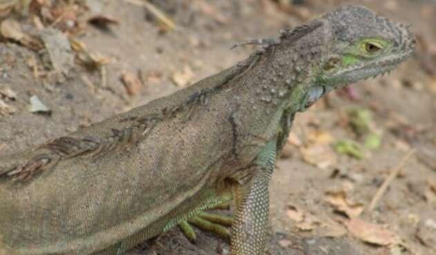 La iguana se multiplicó en la Florida gracias a su clima subtropical y la escasez de predadores.