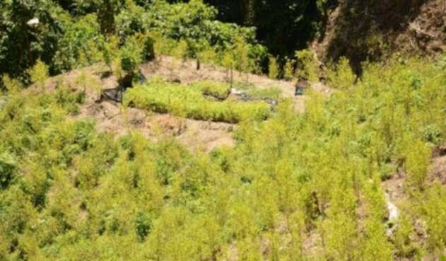 Cultivo de hoja de coca en Saamaná, Caldas, departamento del que se dijo que no había cultivos ilícitos.
