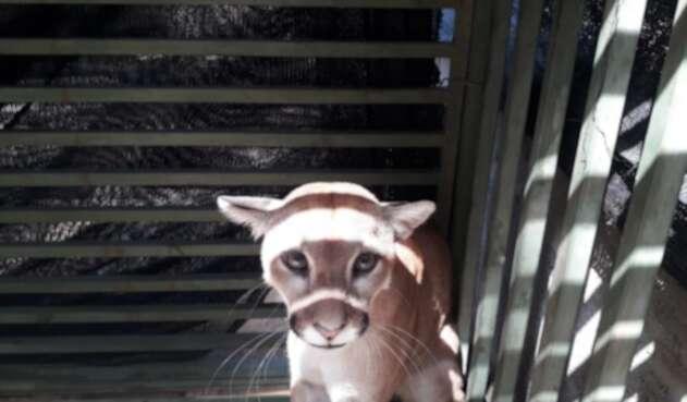 El puma fue capturado en zona rural de Montería.