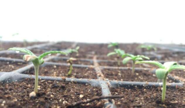 Un cultivo de cannabis en Quindío