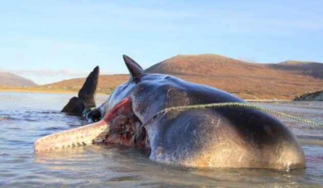 Encuentran plástico en estómago de una ballena en Escocia
